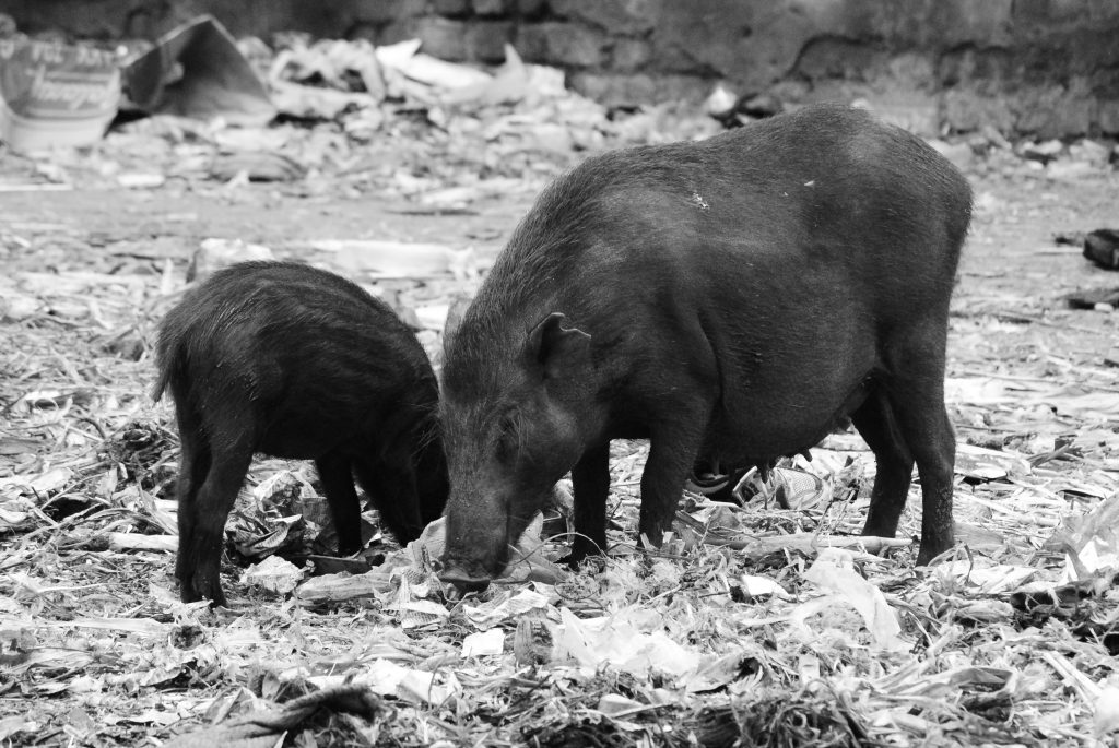 Pigs near DNT colony in Latur